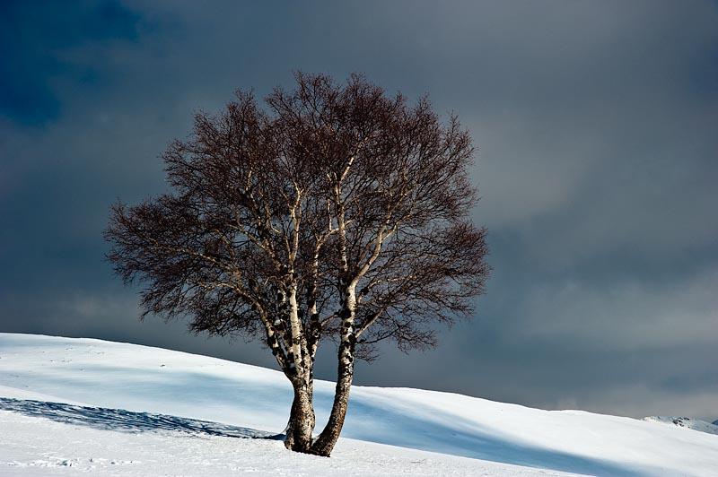 Abedul en el paisaje nevado del Parque Natural de Somiedo.
