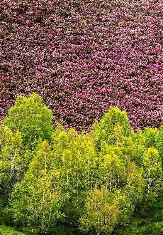 Abedules en primavera Parque Natural de Las Fuentes del Narcea Degaña e Ibias Asturias Spain